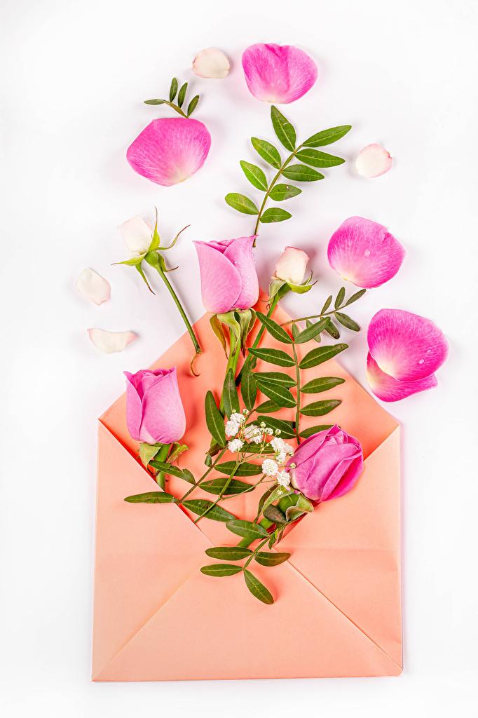 Fotos Briefumschlag Rose Rosa Farbe kronblätter Blumen Weißer hintergrund  für Handy Rosen Blütenblätter Blüte
