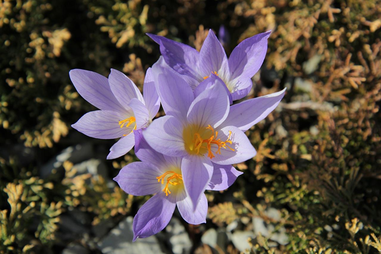 Desktop Wallpapers blurred background Violet Flowers Crocuses Closeup Bokeh flower