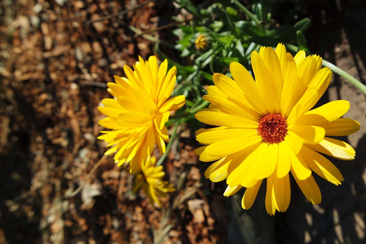 Bilder von unscharfer Hintergrund Gelb Blüte Ringelblumen hautnah Bokeh Blumen Nahaufnahme Großansicht
