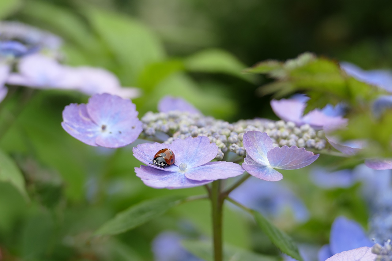 Picture Ladybugs Insects Bokeh Flowers Hydrangea Closeup Ladybird Lady beetle Coccinellidae blurred background flower