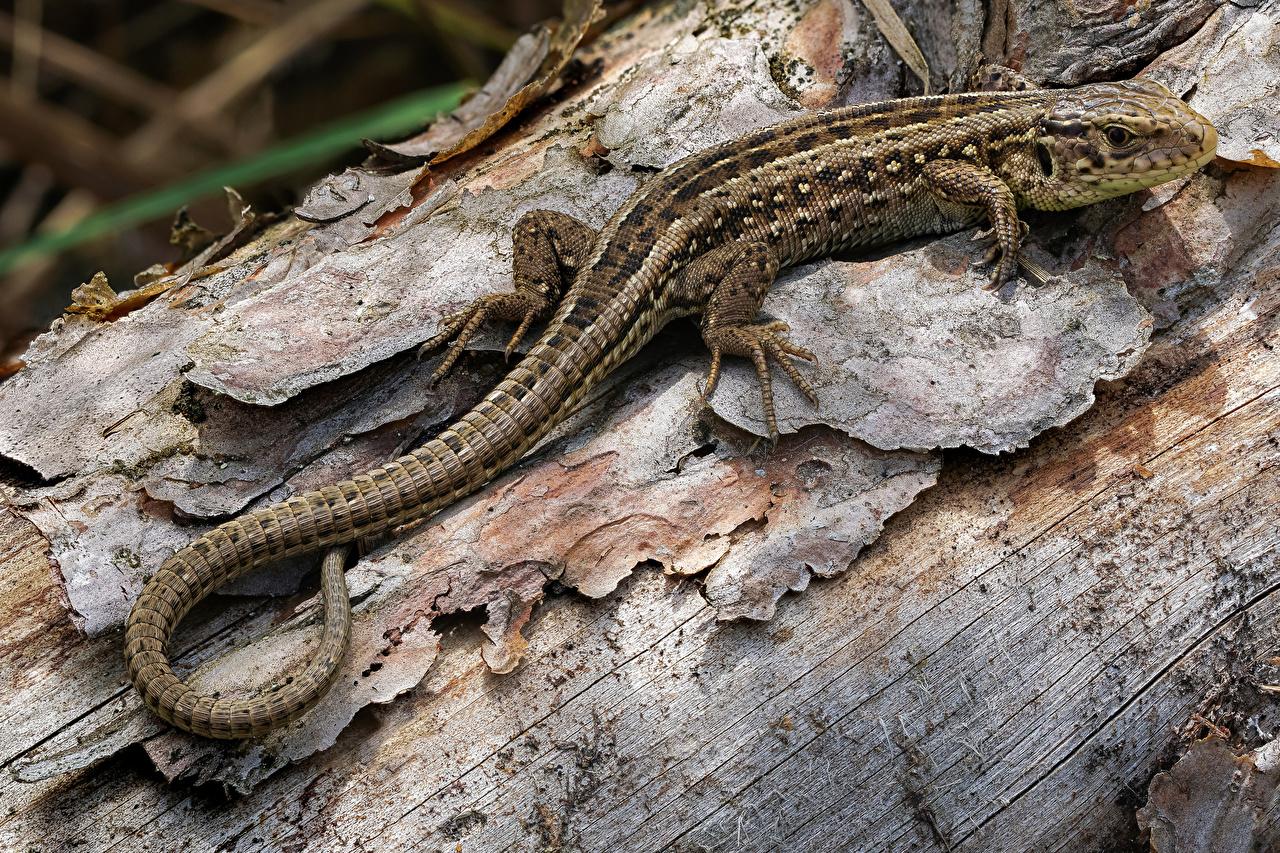 zdjęcie Jaszczurki lacerta agilis Ogon zbliżenie Zwierzęta Z bliska zwierzę