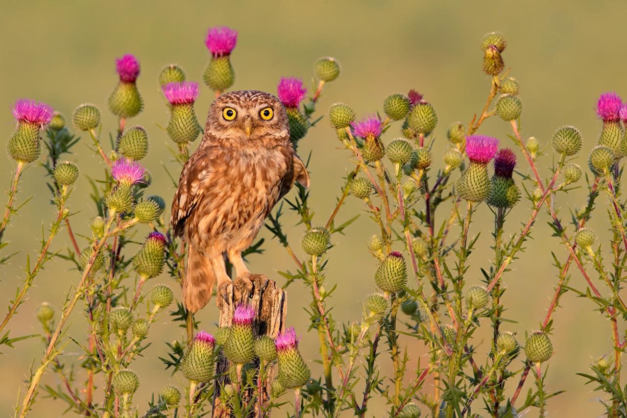 Photos owl Birds little owl, thistle Staring Animals Owls bird Glance animal