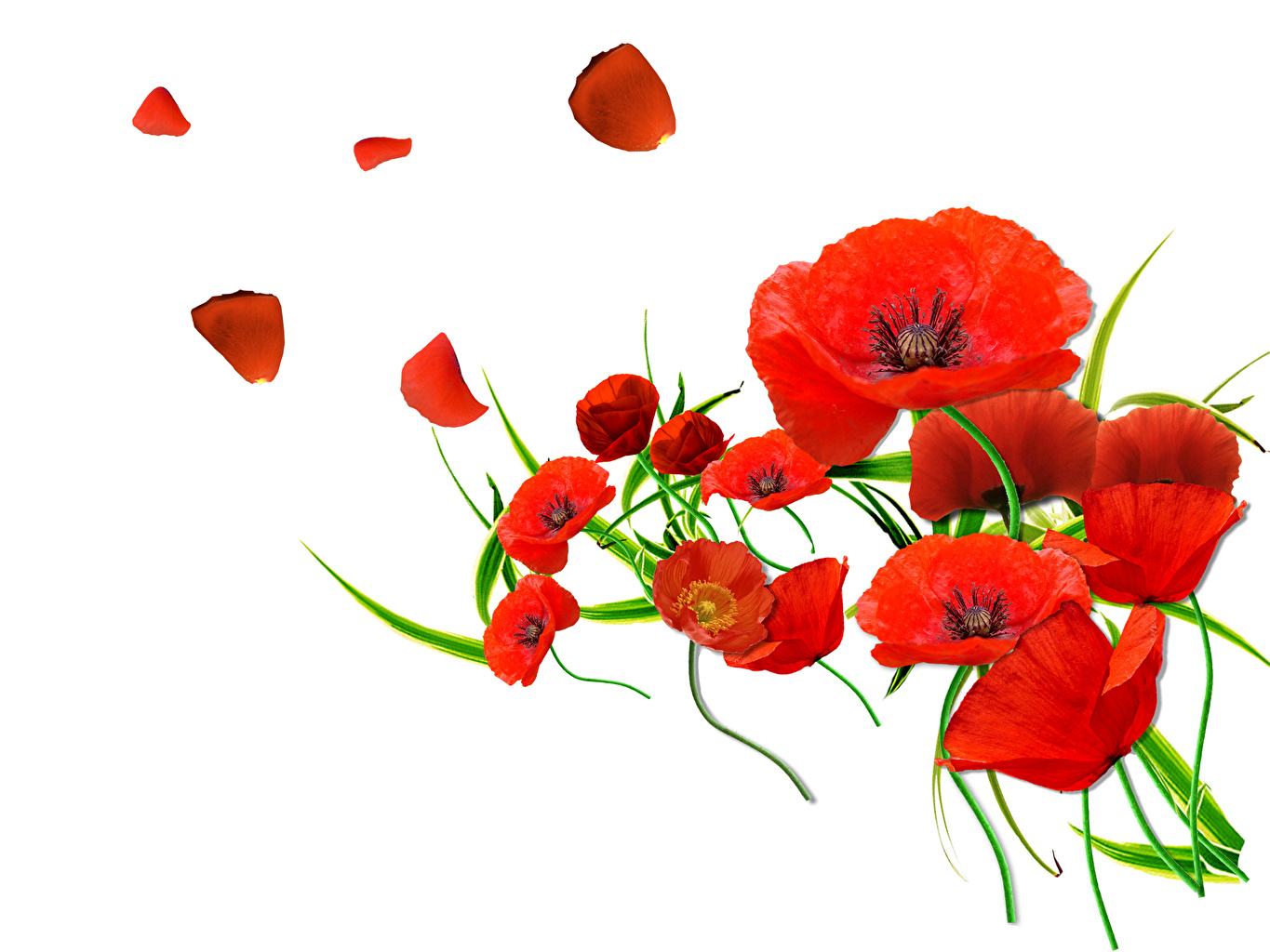 Image Red Flowers papaver Closeup White background