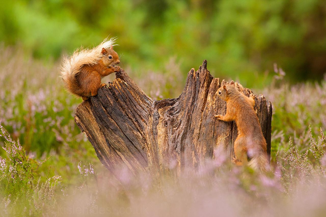 Foto Hörnchen unscharfer Hintergrund Zwei Baumstumpf ein Tier Eichhörnchen Bokeh 2 Tiere