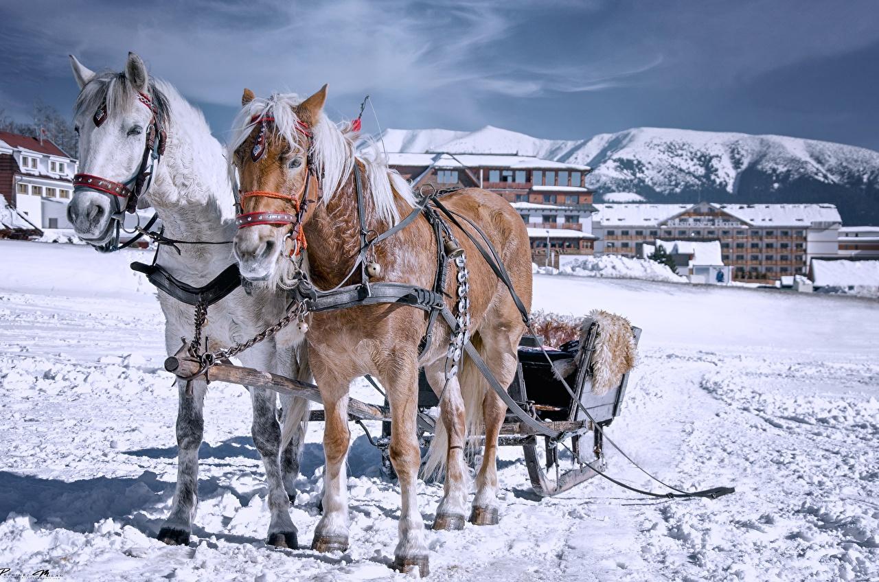 Обои для рабочего стола Лошади санках Зима Двое снега Животные лошадь Сани Санки санях 2 два две зимние вдвоем Снег снегу снеге животное