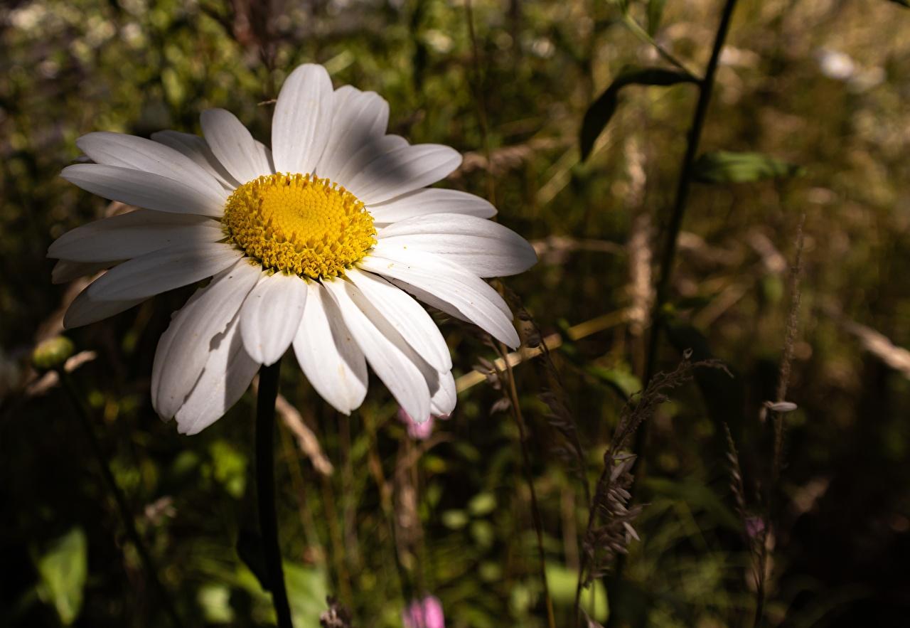 Desktop Hintergrundbilder Bokeh Blumen Kamillen Großansicht unscharfer Hintergrund Blüte hautnah Nahaufnahme