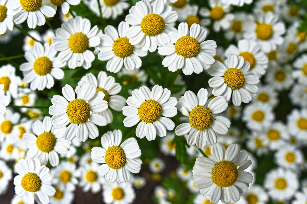 Desktop Wallpapers White Flowers Camomiles Many Closeup