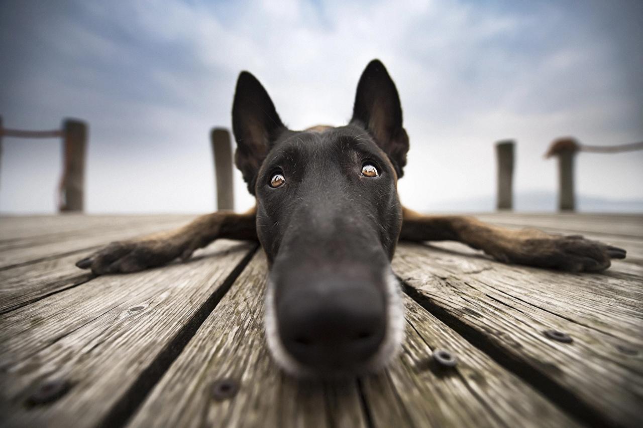 Image Belgian Shepherd dog Nose Snout Closeup Staring Animals Dogs Glance animal