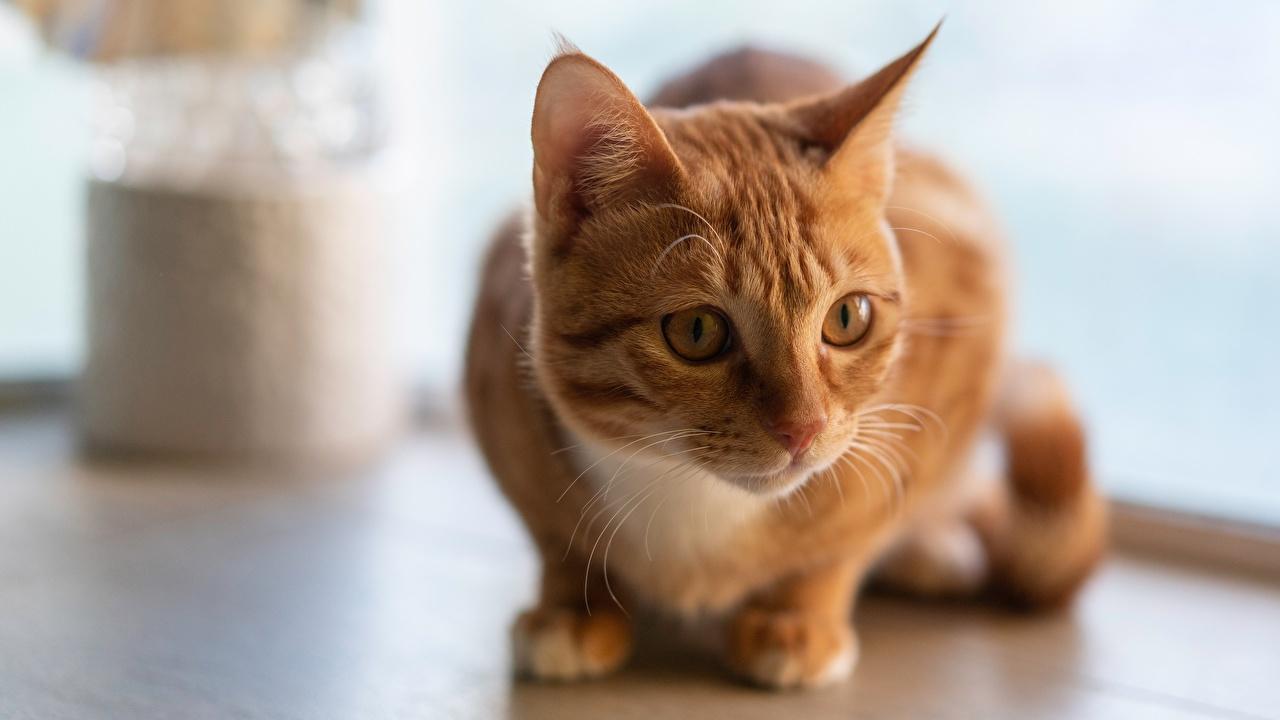 Bilder Hauskatze Fuchsrot Tiere Blick Katze Katzen orange rot ingwer farbe Starren ein Tier