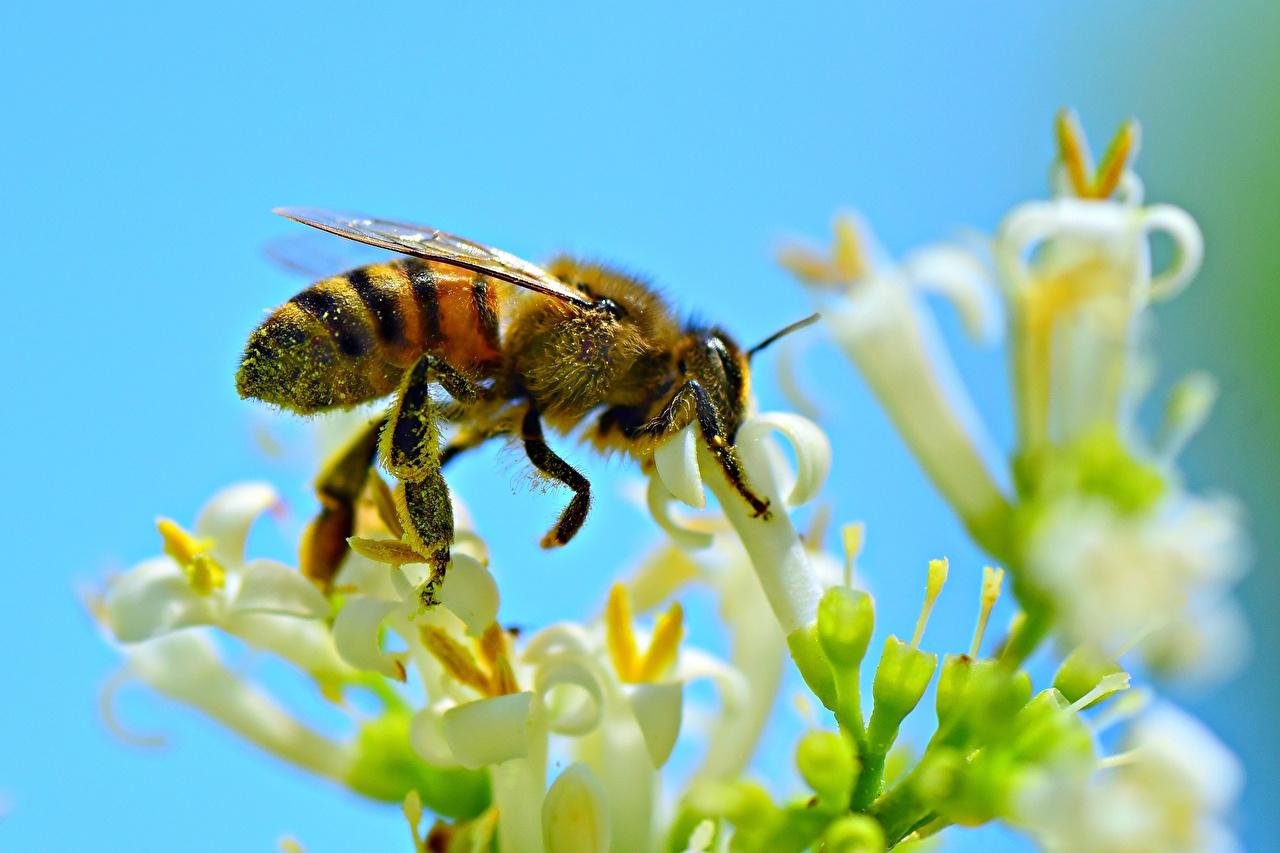 Desktop Hintergrundbilder Bienen Insekten Tiere Großansicht hautnah ein Tier Nahaufnahme