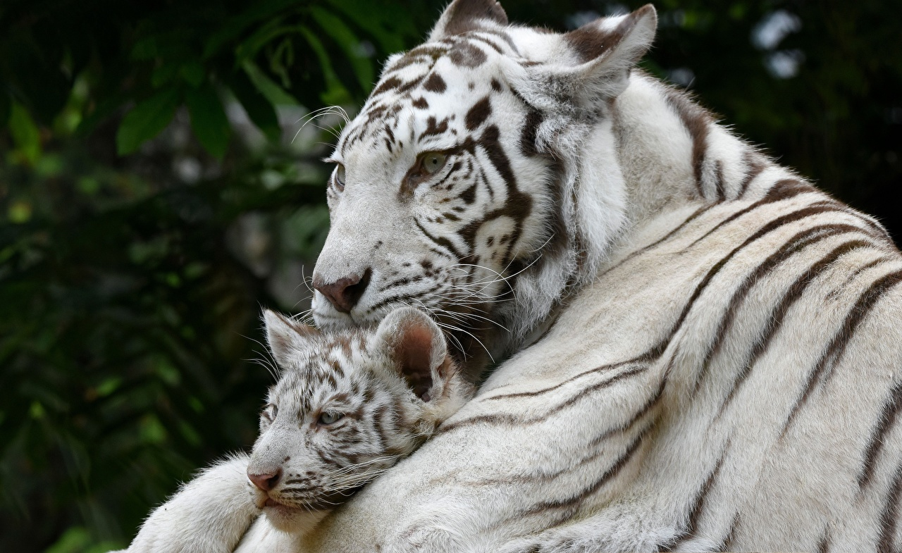 Photo Tigers Cubs Two White animal tiger 2 Animals