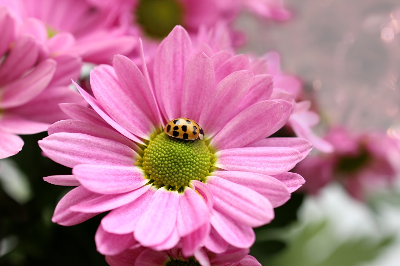 Desktop Wallpapers Ladybugs Insects Pink color flower matricaria Closeup Ladybird Lady beetle Coccinellidae Flowers Camomiles