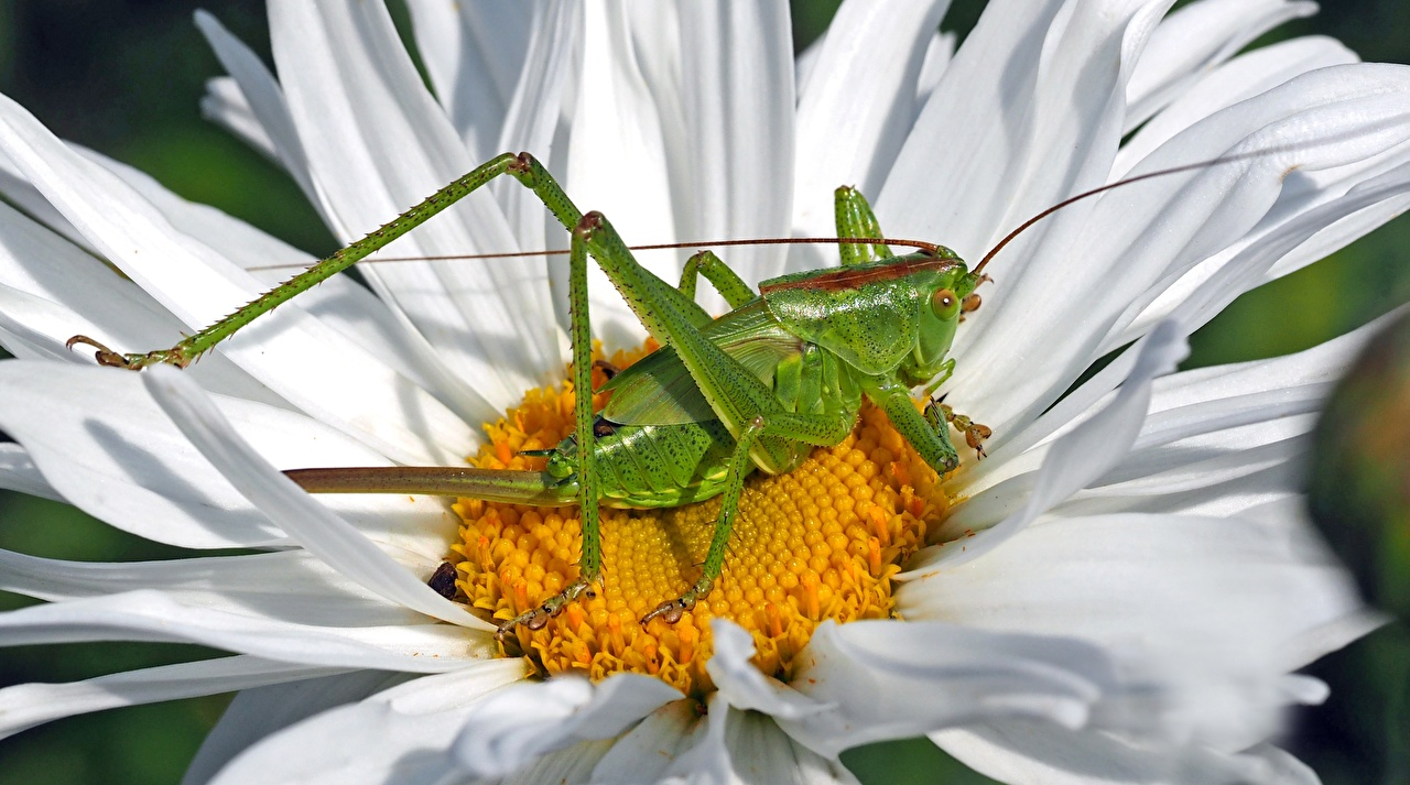 Wallpaper Insects Grasshoppers Tettigonia Viridissima female Green Flowers matricaria Closeup flower Camomiles