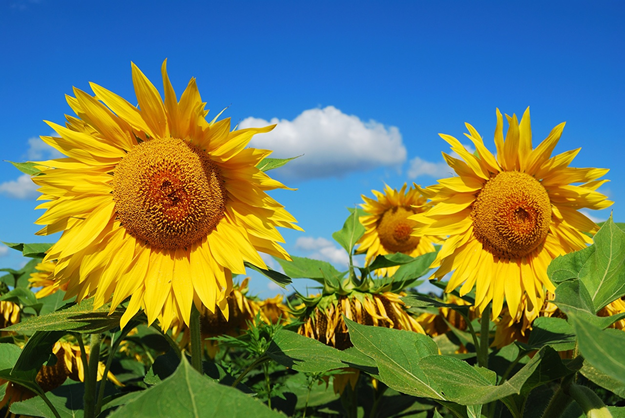 Wallpaper Yellow Fields Flowers Helianthus flower Sunflowers