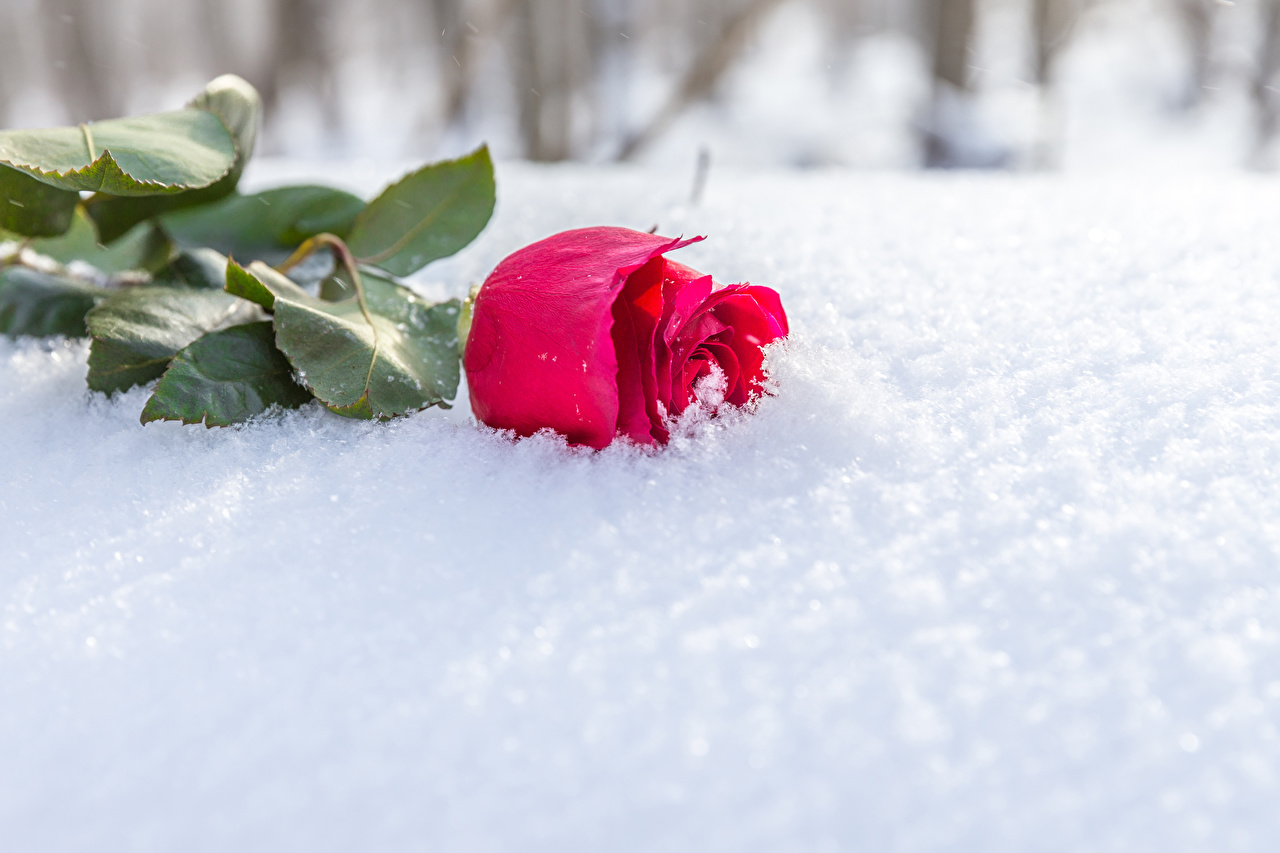 Photo Red rose Winter Snow flower Roses Flowers