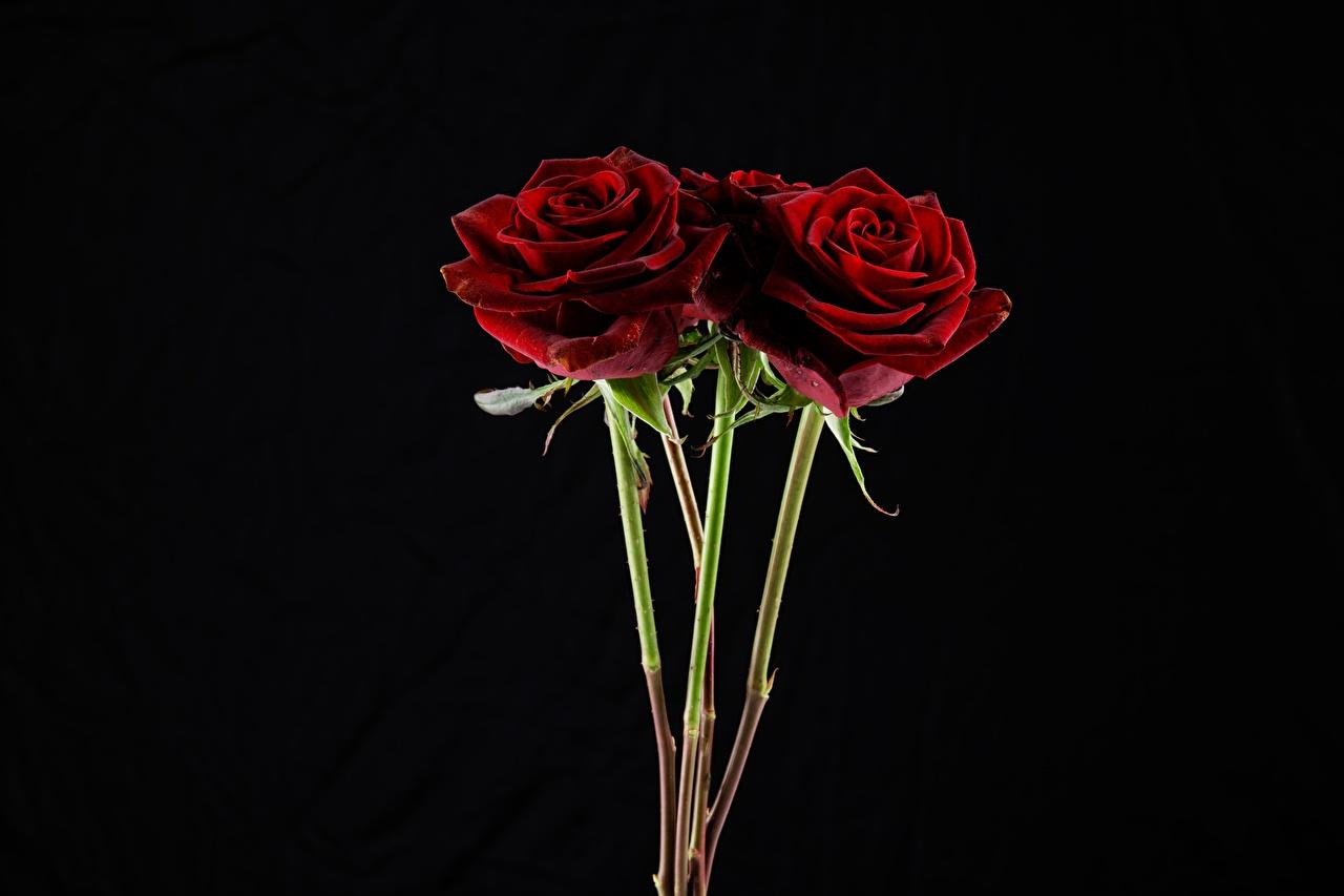 Bouquets Roses Fond noir Rouge fleur, bouquet, rose Fleurs