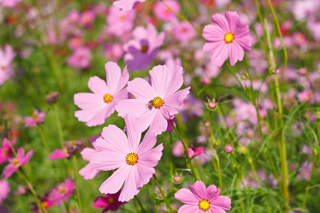 Picture Pink color Flowers Cosmos plant Closeup flower