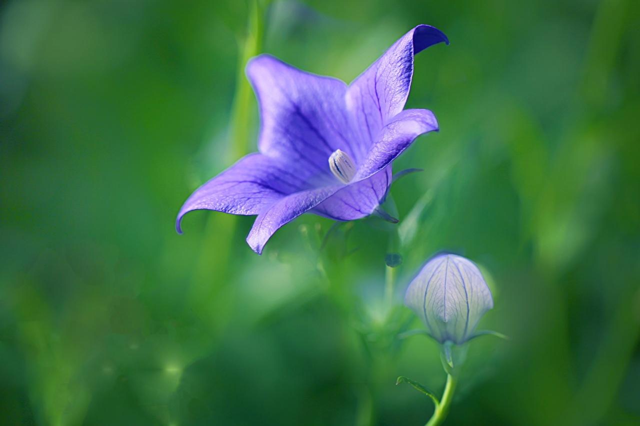 Pictures Bokeh Violet Flowers Handbell Closeup Flower-bud blurred background flower Bells