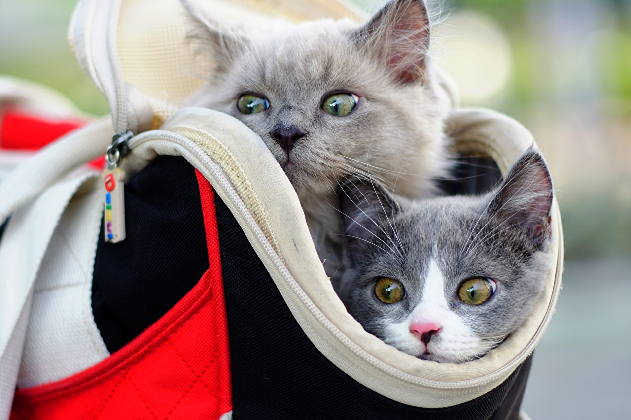 Images Cats 2 Grey purse Snout Head Staring Animals cat Two gray Handbag Glance animal