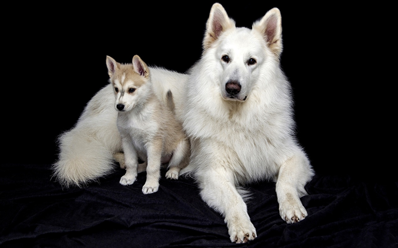 Pictures Puppy Shepherd Dogs Berger Blanc Suisse White Paws Animals Black background puppies dog animal