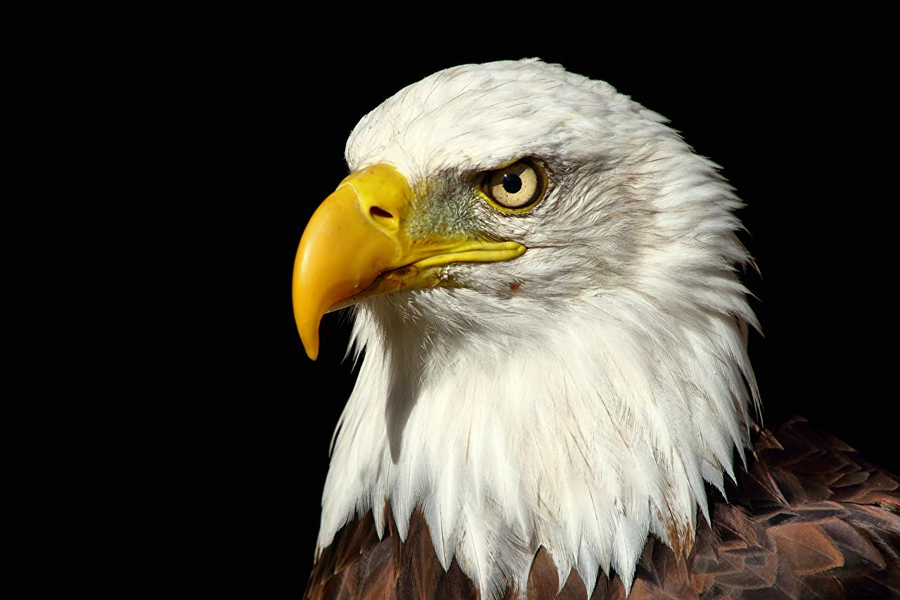 Images Bald Eagle Hawk Beak Head animal Animals