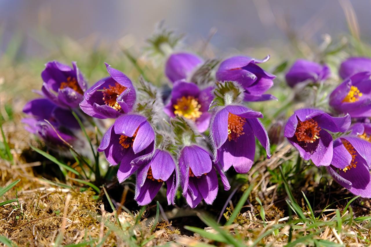 Bakgrundsbilder lila färg blomma Backsippssläktet Närbild Violett Blommor