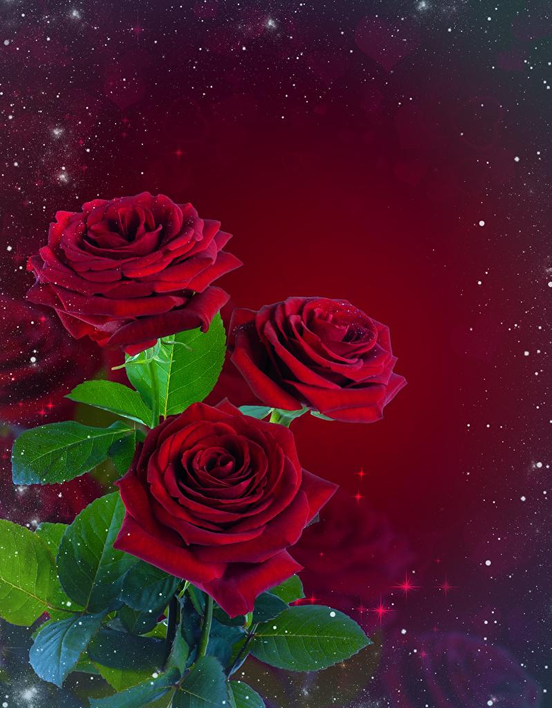 Fotos Blattwerk Sträuße Rosen Blüte Vorlage Grußkarte Roter Hintergrund  für Handy Blatt Blumensträuße Rose Blumen