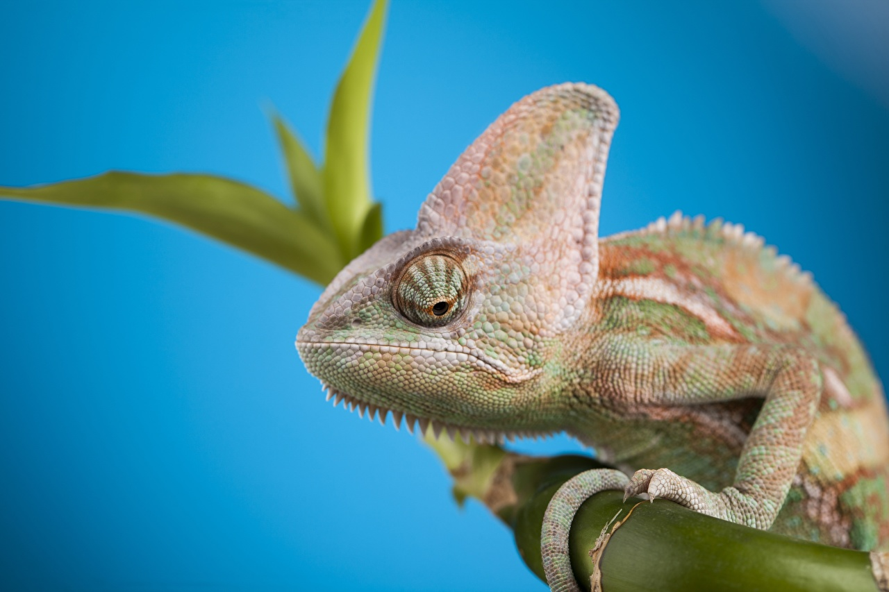 Achtergrond Kameleons Reptielen Boomtakken Hoofd een dier Gekleurde achtergrond Dieren
