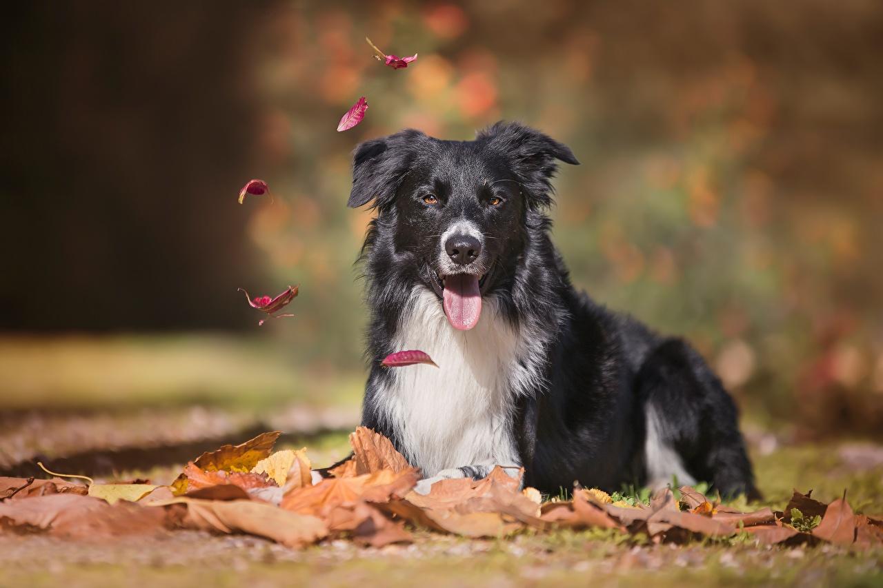 Foto Border Collie hund Blattwerk Liegt unscharfer Hintergrund Tiere Starren Hunde Blatt ruhen Liegen hinlegen Bokeh Blick ein Tier