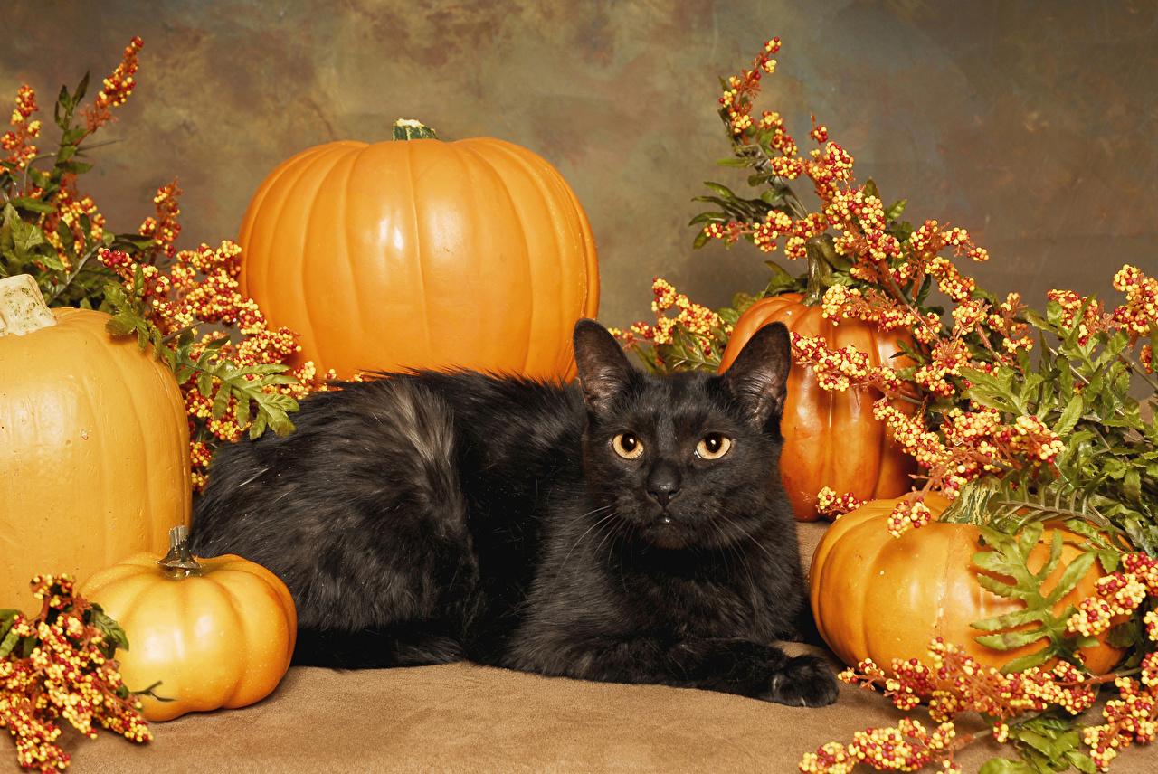 Image cat Black Pumpkin Halloween Animals Cats animal