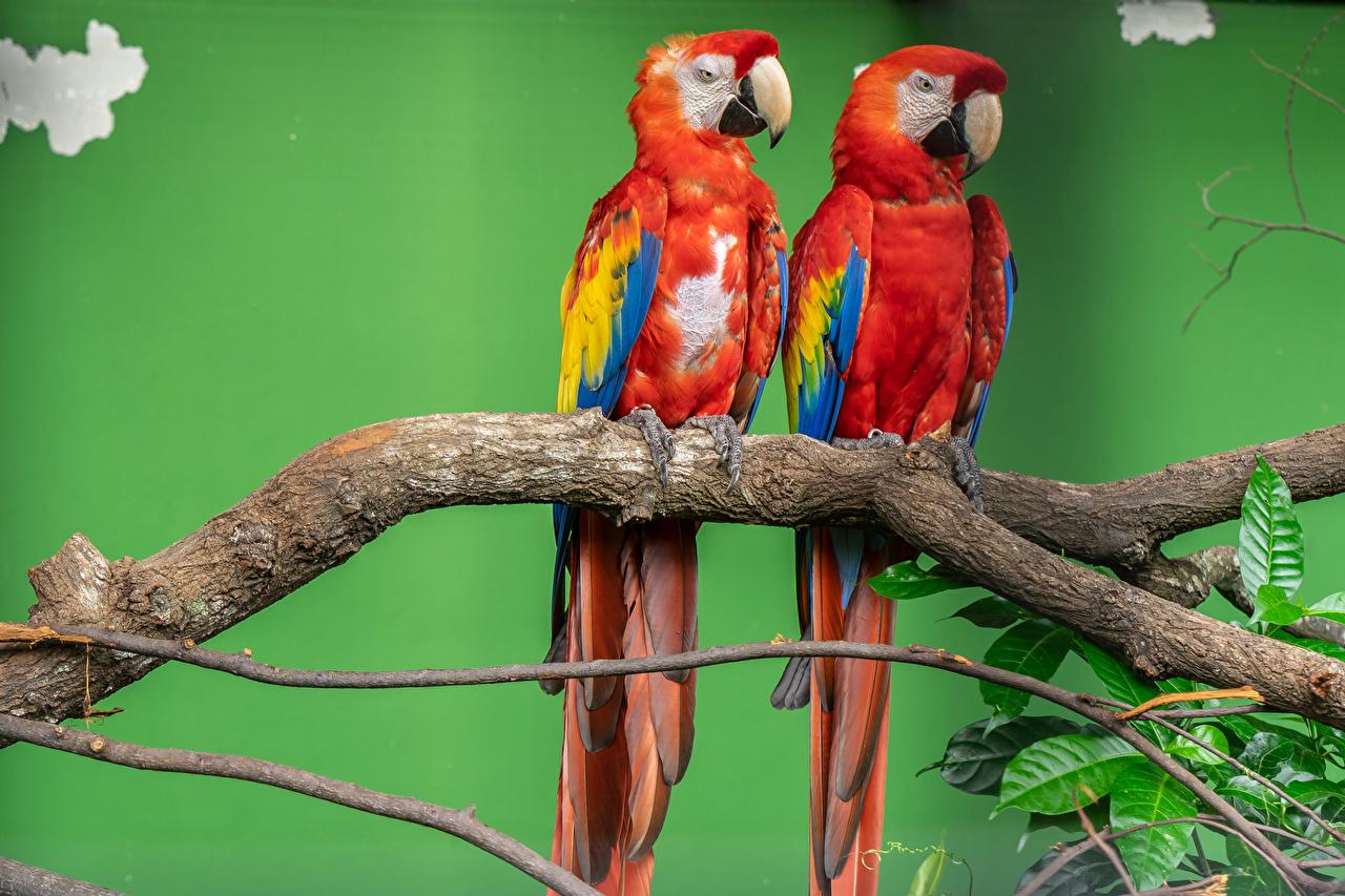 、鳥類、オウム、コンゴウインコ、2 二つ、枝、くちばし、動物、