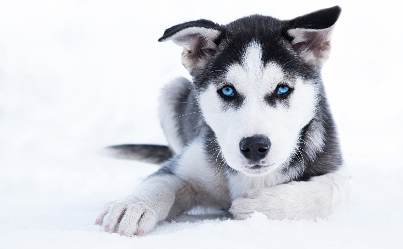 Picture Puppy Husky Dogs Paws Snout Glance Animals