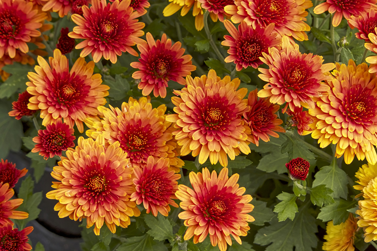Muitas De perto Chrysanthemum Laranja flor, crisântemos Flores