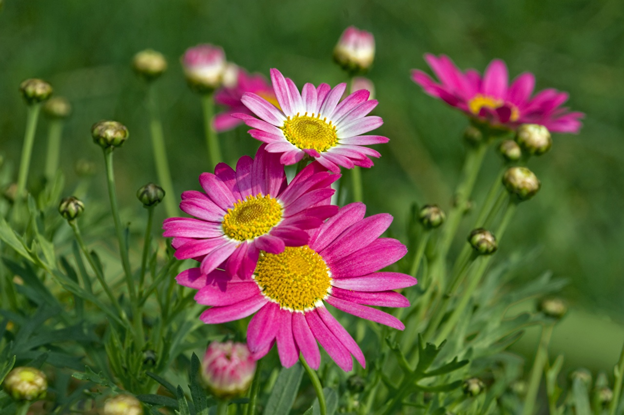 Photo Bokeh Pink color Bellis flower Closeup Flower-bud blurred background Flowers
