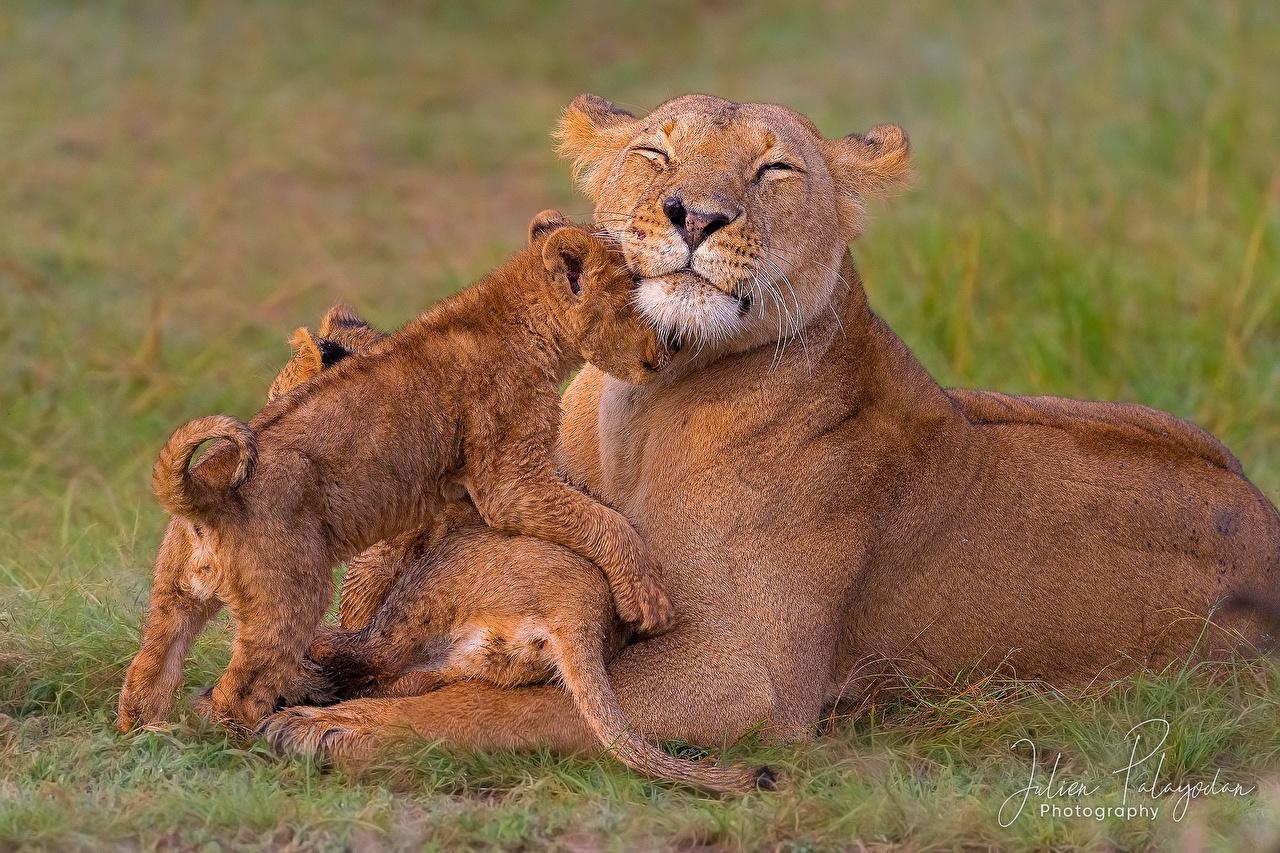 Fotos Löwe Löwin Jungtiere Drei 3 ein Tier Löwen babys Tiere