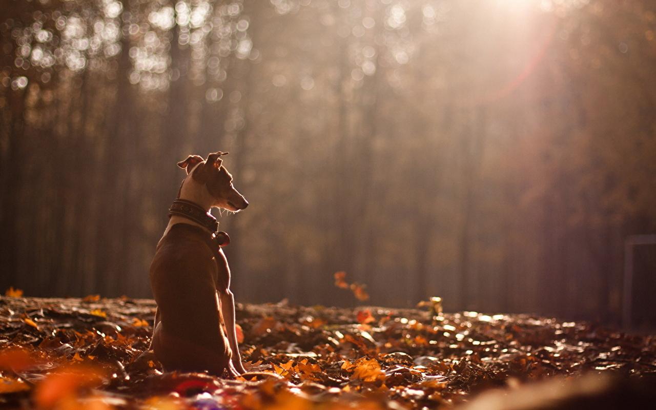 Pictures Greyhound dog Foliage Autumn sit Animals Dogs Leaf Sitting animal
