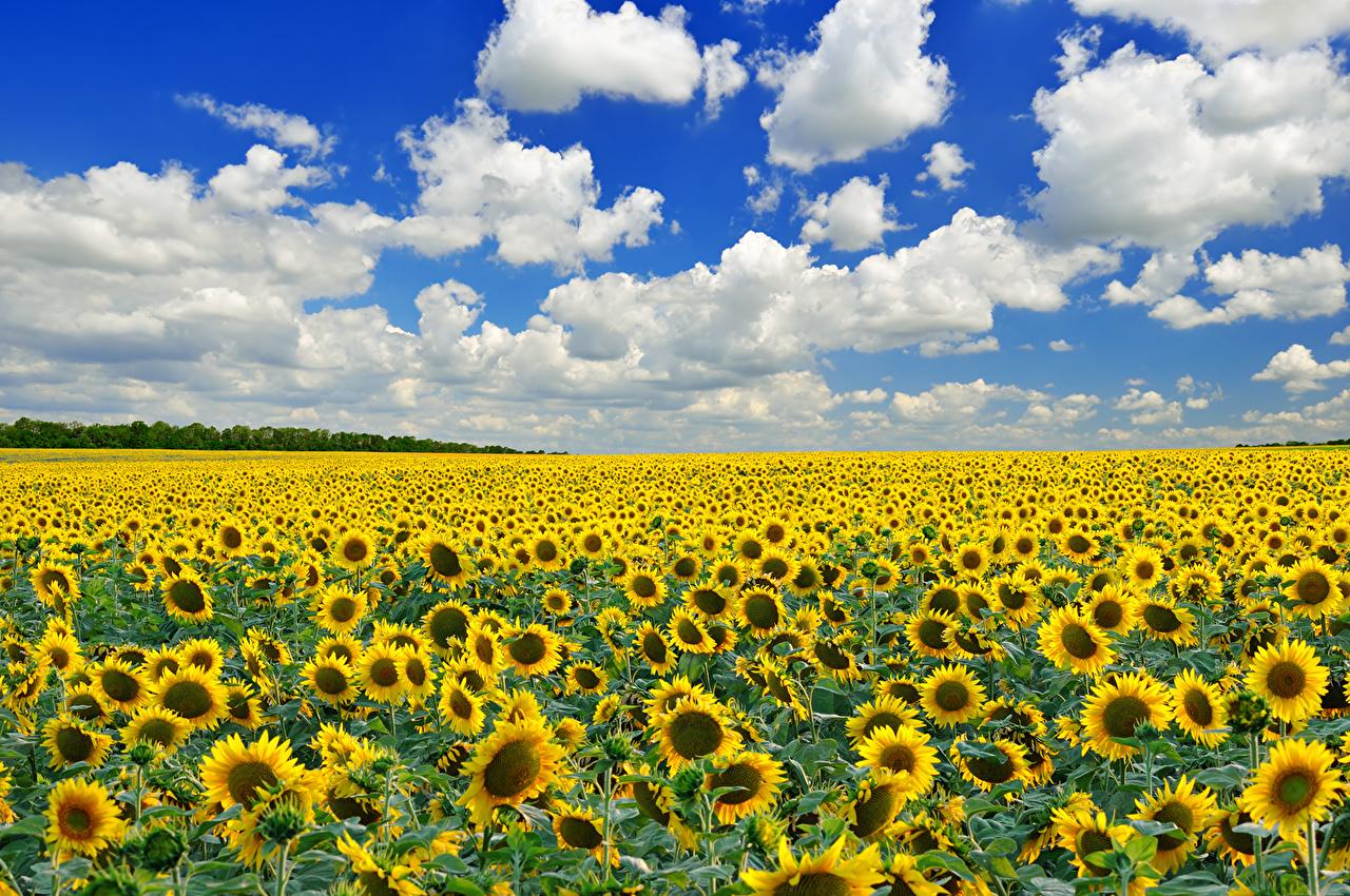 壁紙 ひまわり 畑 空 雲 花 自然 ダウンロード 写真