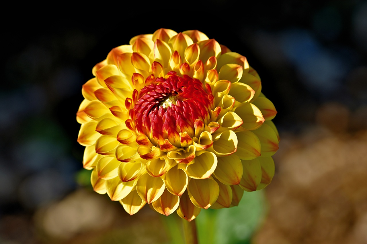 Picture Bokeh Yellow Dahlias Flowers Closeup blurred background flower