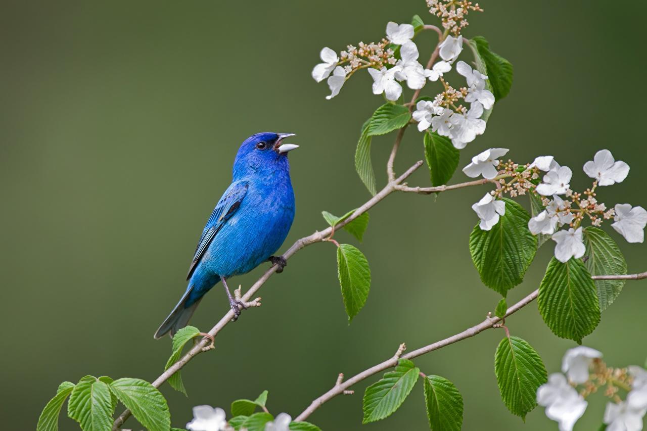 Fotos von Vögel Indigo bunting Blau Ast Tiere