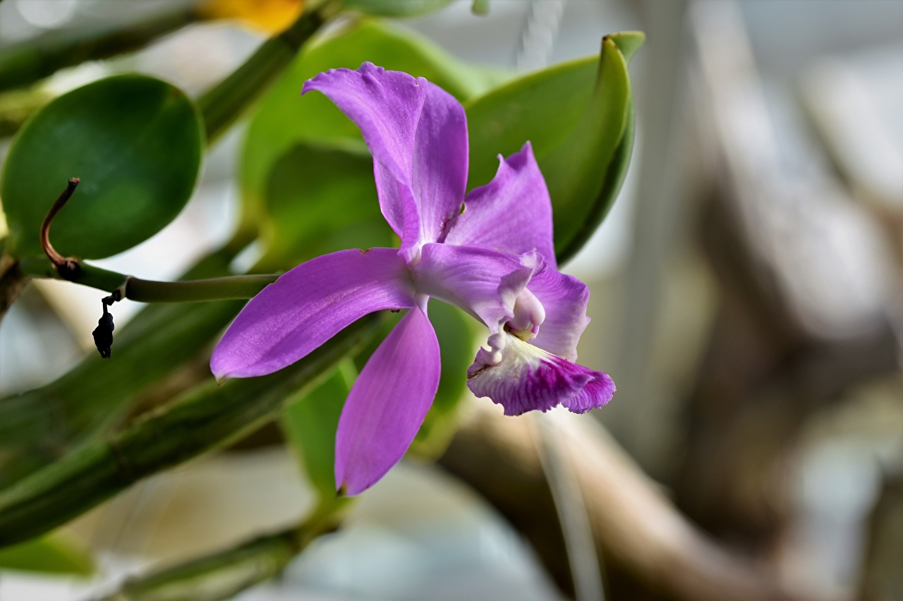 Photos Bokeh Violet orchids flower Closeup blurred background Orchid Flowers
