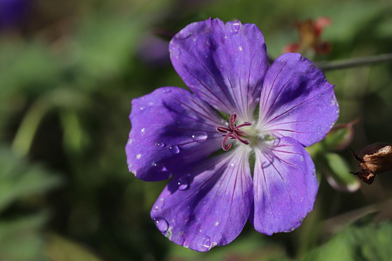 Photos Bokeh Violet Drops flower Geranium Closeup blurred background Flowers