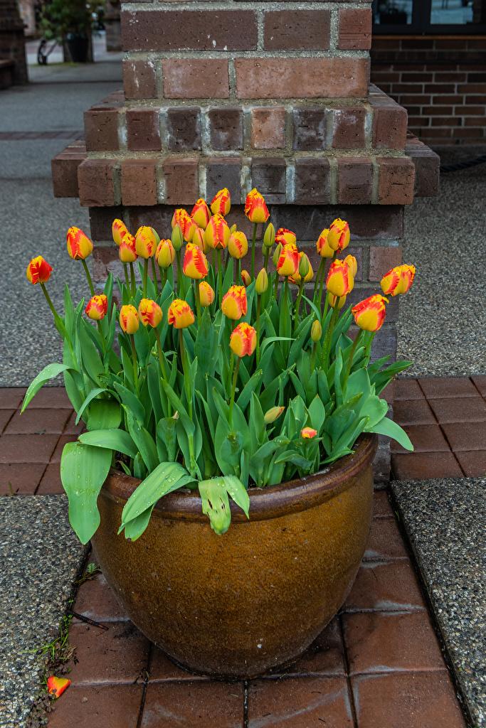 Desktop Wallpapers Tulips Flowerpot flower Many  for Mobile phone tulip plant pot flower pot Flowers