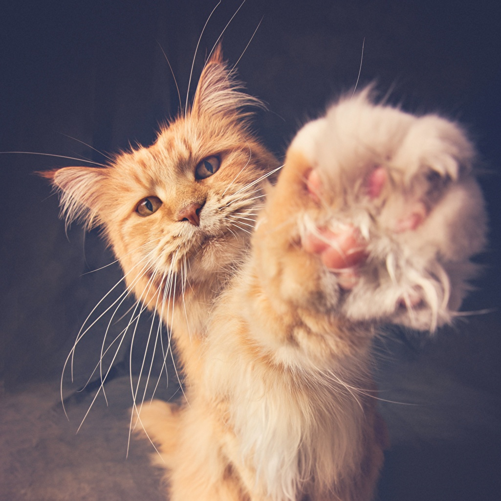 Wallpaper cat red orange Paws Whiskers animal Cats Ginger color Animals