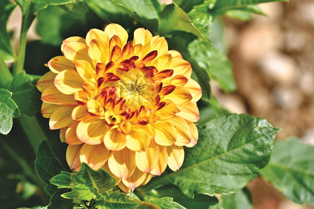 Bilder von Gelb Blumen Georginen Großansicht Blüte Dahlien hautnah Nahaufnahme