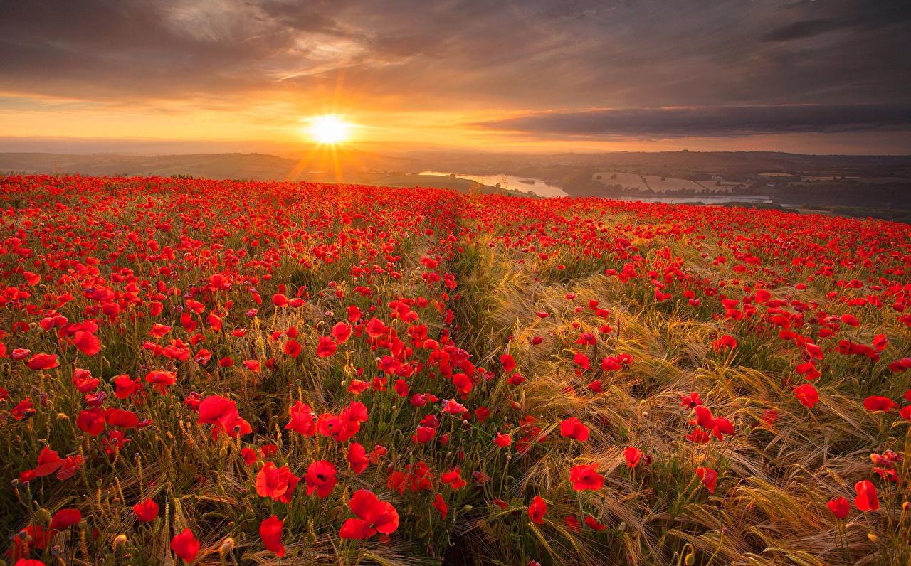 Bilder Natur Mohn Felder Blumen spitzen Landschaftsfotografie Sonnenaufgänge und Sonnenuntergänge Acker Ähre Ähren spitze