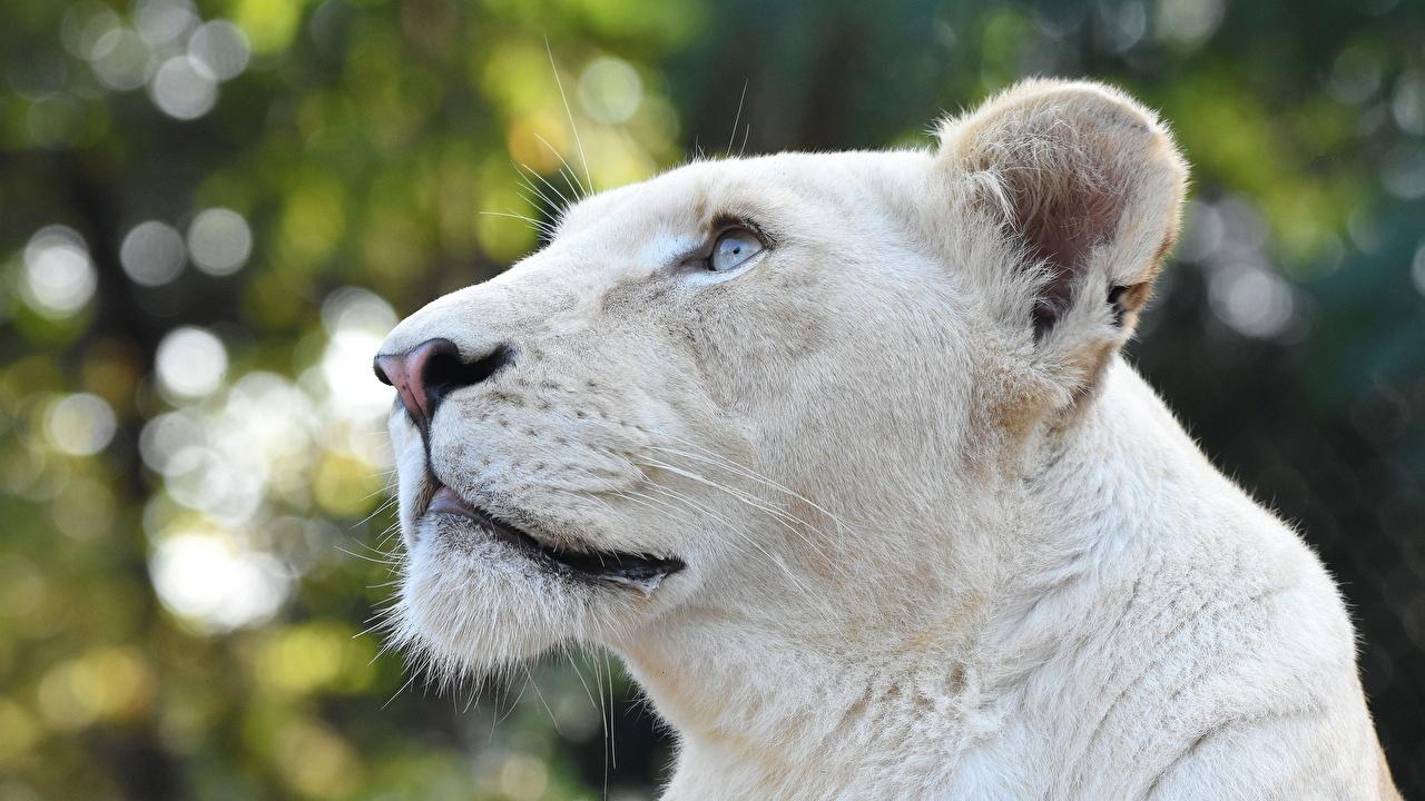 Image lion Lioness White Head Staring Animals Lions Glance animal