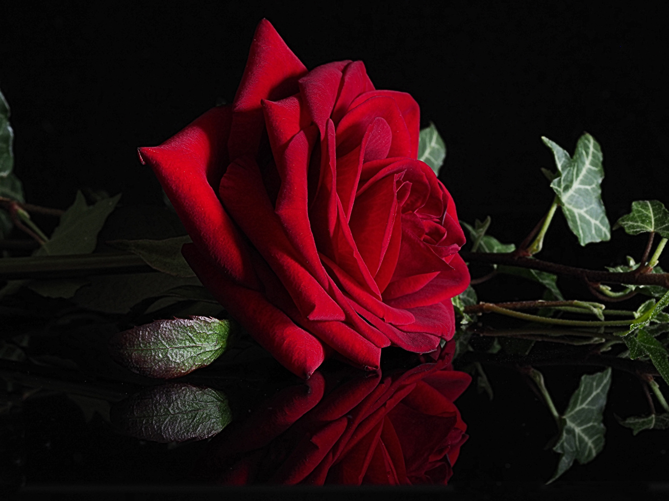 Images rose dark red Flowers Reflection Closeup Black background Roses maroon burgundy Wine color flower reflected