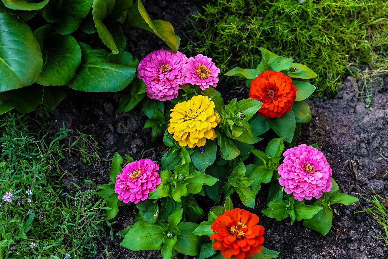 Bilder Blumen Zinnien Blüte