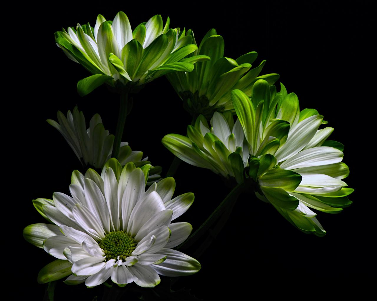 Fotos von Blüte Chrysanthemen hautnah Schwarzer Hintergrund Blumen Nahaufnahme Großansicht