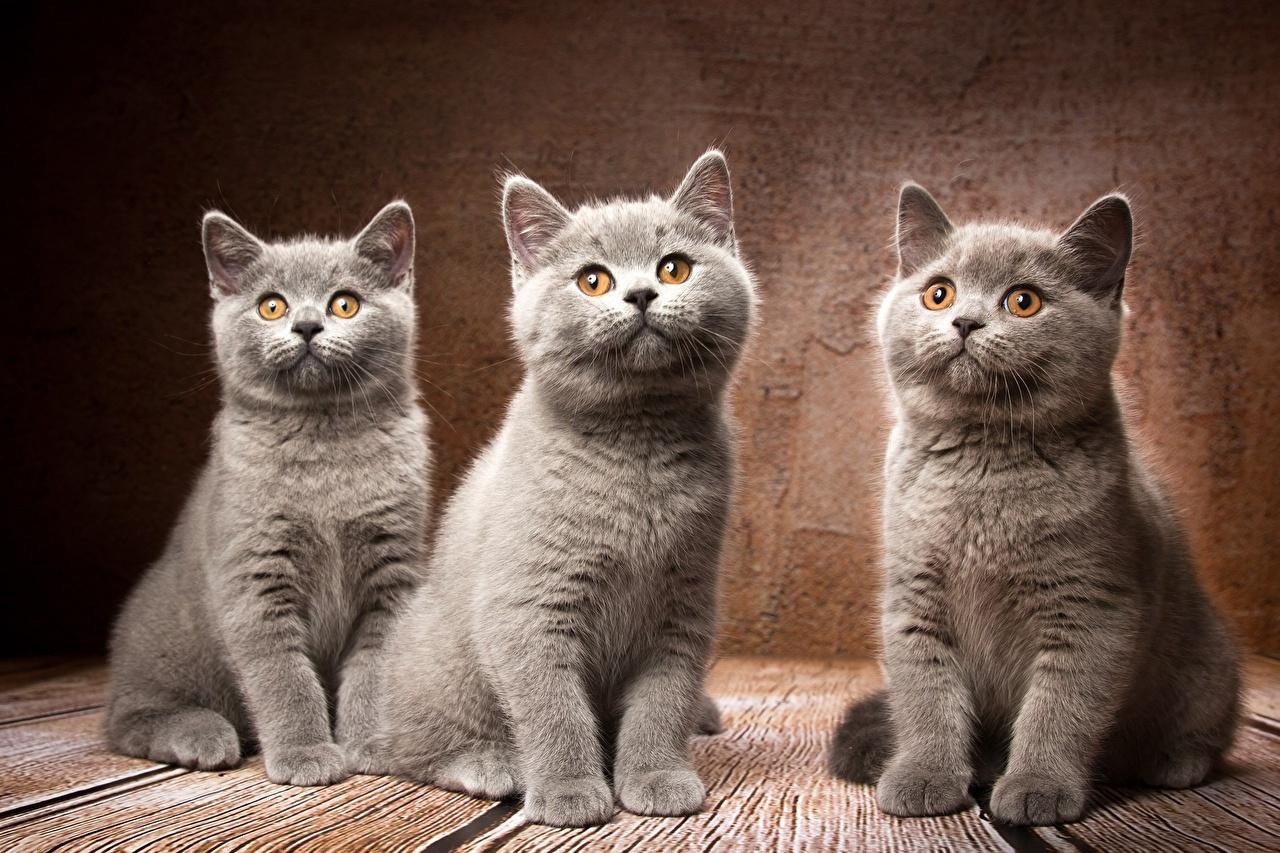 Fotos Britisch Kurzhaar Katze Natalya Leis graues Drei 3 Tiere Katzen Hauskatze Grau graue ein Tier